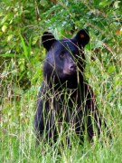 mapping megan black bears