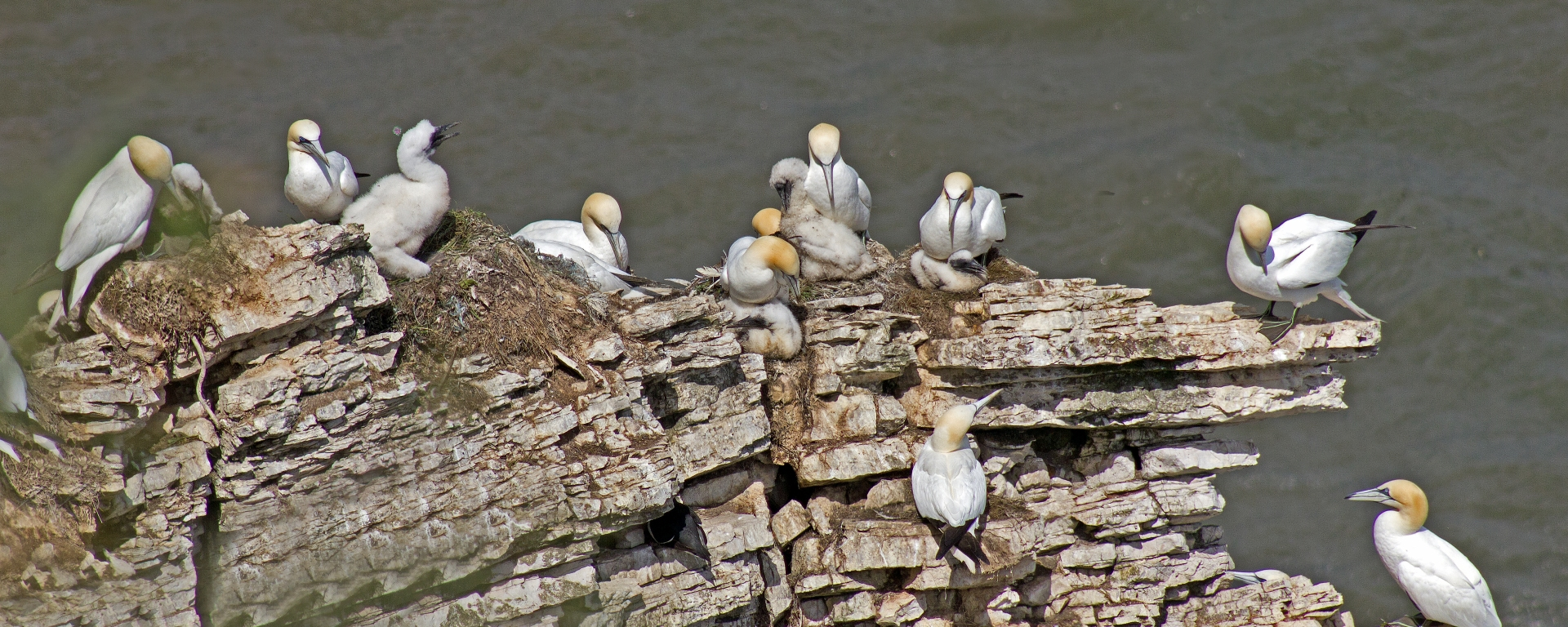 Gannet & young at Bempton Cliffs