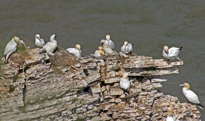 Gannet & young at Bempton Cliffs