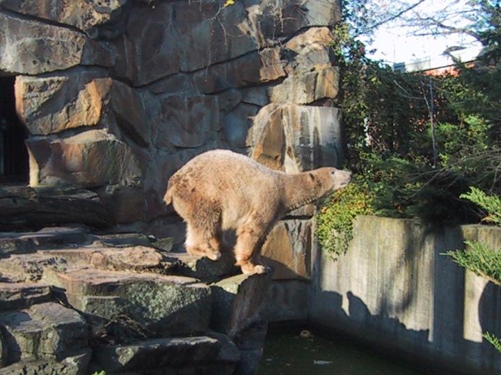 tracey giblin polar bear