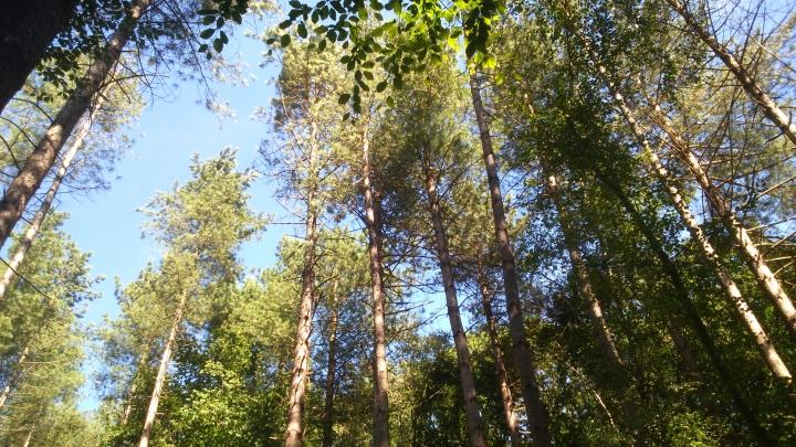David Willis dot info bushcraft woodland walk scots pine